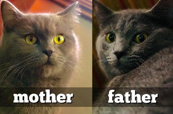 للبيع ٧ قطط كتنز شوت هير  ٤ اناث  ٣ ذكور