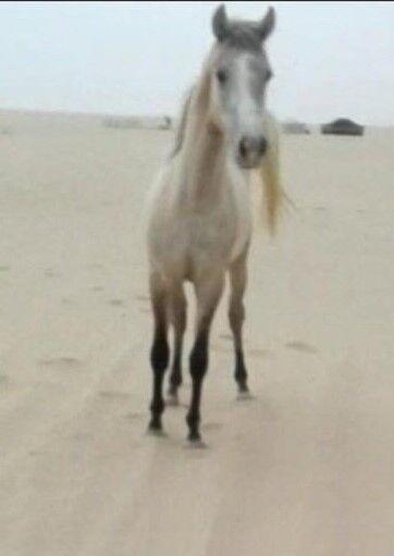 حصان بلدي للبيع في جبد