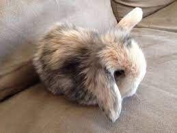 Cashmere Lop Bunny