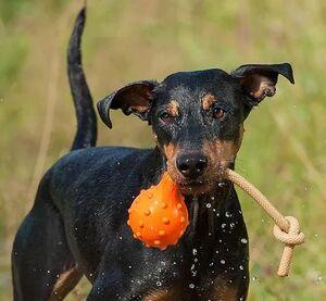 Majordog Swimming Eddy - Large -  Dogs product